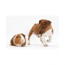 3D pohľadnica Pes a morča